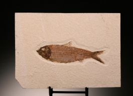 Knightia Fish Fossil (with stand)