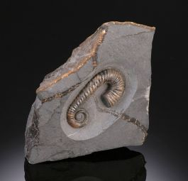 Heteromorph Ammonite