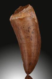 "3-1/2"" Carcharodontosaurus Tooth"
