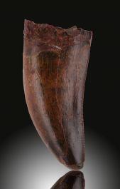 "Carcharodontosaurus Tooth (2-1/4"")"
