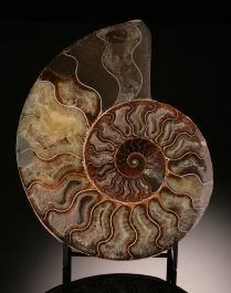 "7-1/4"" Ammonite Slice (with stand)"