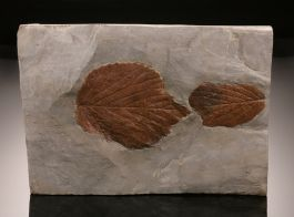 Base-Cut Double Leaf Plate