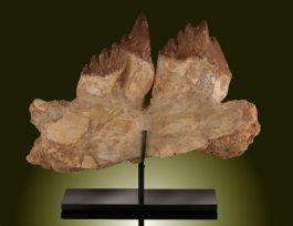 Basilosaurus B. isis / Mandible with 2 large teeth