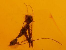 Baby Praying Mantis in Amber