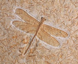 Dragonfly (cordulagomphus tuberculatus)