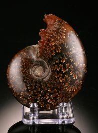 "3-3/4"" Sutured Ammonite (with stand)"
