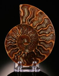 Sliced Ammonite (with stand)