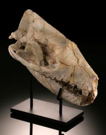 Hyaenodon Horridus Skull