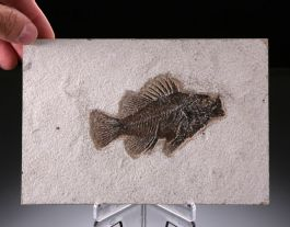 Priscacara Fossil Fish with Stand
