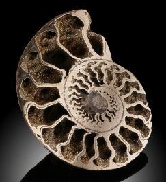 "2-3/4"" Pyritized Ammonite"