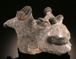 Trilobite / Calymene Multiple Mortality Cluster