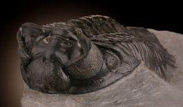 Trilobite 'Coltraenia'