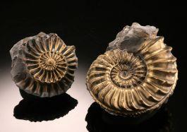 Pleuroceras Pyritized Ammonite (+/-)