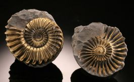 Pyritized Ammonite from Germany (+/-)