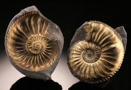 Pyritized Ammonite Pair (+/-)