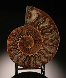 Ammonite Cross Section (with stand)
