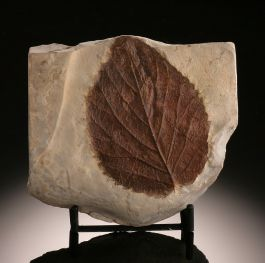 Fossil Leaf  (with stand)