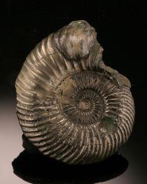 Pyritized Ammonite / United Kingdom