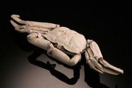 Macrophthalmus Crab Fossil