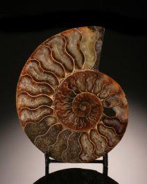 Ammonite Slice (with stand)