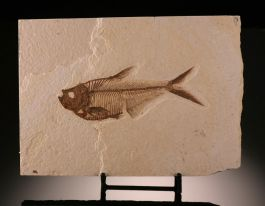 Diplomystus Fossil Fish (with stand)