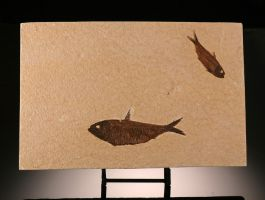 Double Knightia Fish Plate (with stand)