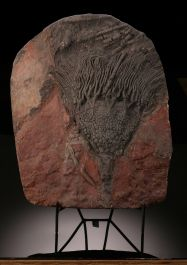 Crinoid Mortality Plate (with stand)