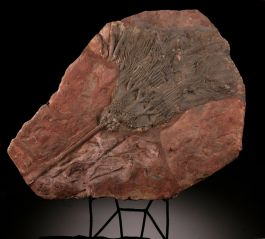 Moroccan Crinoid Plate (with stand)