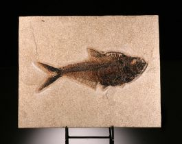 Diplomystus Fish (with stand)