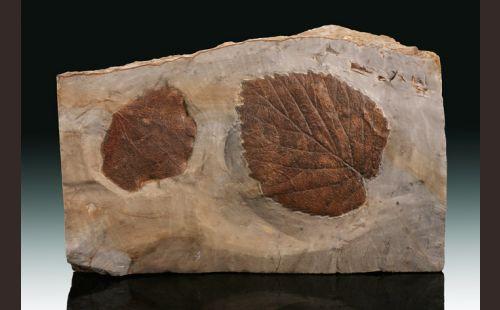 """8"""" Base-Cut Leaf Plate"""