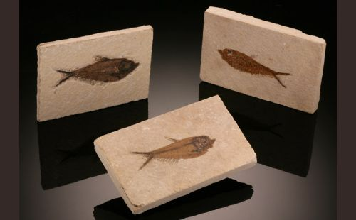 Rectangular Fossil Fish Plate (Best Available)